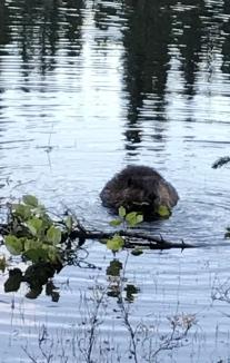 Beaver on Horseshoe Lake Trail, Denali National Park, AK.