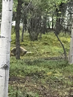 Porcupine, Denali Park Village, Denali